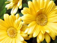 desktop wallpapers flowers backgrounds yellow gerbera daisy