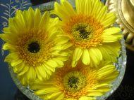Yellow Gerberas