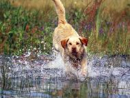Yellow Labrador in the Water