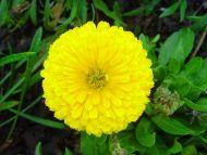 Desktop Wallpapers » Flowers Backgrounds » Yellow Marigold ...