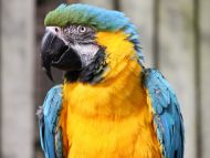 Yellow Parrot Closeup