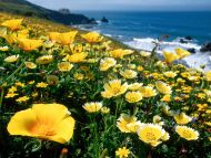 Yellow Poppies, California Coast