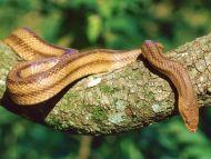 Yellow Rat Snake, Southern Florida