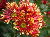 Yellow Red Flowers