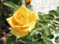Desktop wallpapers flowers backgrounds yellow rose www yellow rose mightylinksfo