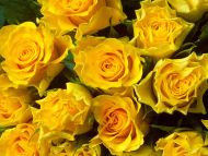 Desktop Wallpapers » Flowers Backgrounds » Yellow Roses ...