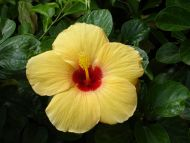 Desktop wallpapers flowers backgrounds yellow tropical flower yellow tropical flower mightylinksfo