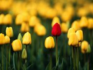 Yellow Tulips Field