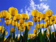 Yellow Tulips in Sky