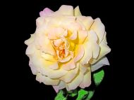 desktop wallpapers » flowers backgrounds » yellowish white rose